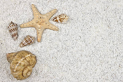 Seastar And Shells Poster