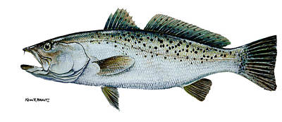 Seatrout Poster