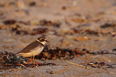 Poster featuring the photograph Semipalmated Plover by Juergen Roth