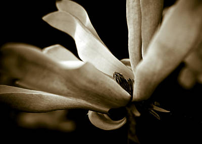 Sepia Magnolia Poster by Frank Tschakert