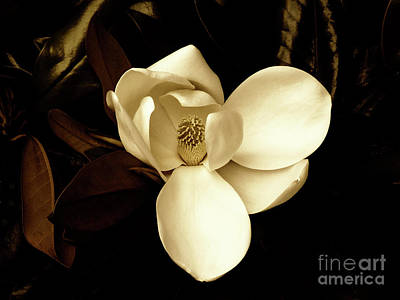 Sepia-toned Magnolia Poster
