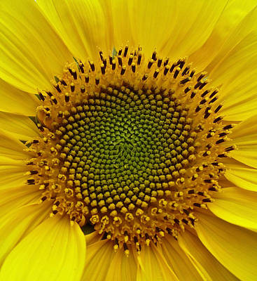 Poster featuring the photograph September Sunflower by Richard Cummings