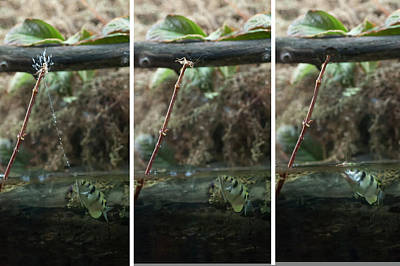 Sequence Archer Fish Eating Poster
