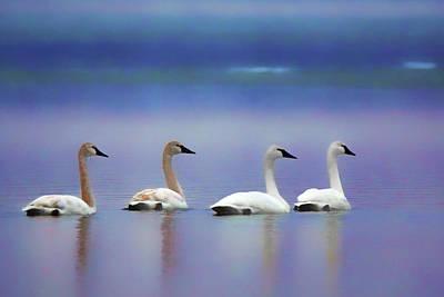 Serenity - Swans Poster by Nikolyn McDonald