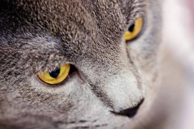 Serious Cat Poster by Svetlana Yelkovan