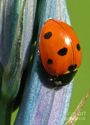 Seven Spotted Lady Beetle Poster