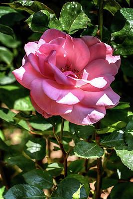 Shaded Pink Rose Poster by John Haldane