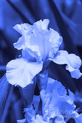 Shades Of Blue Iris  Poster