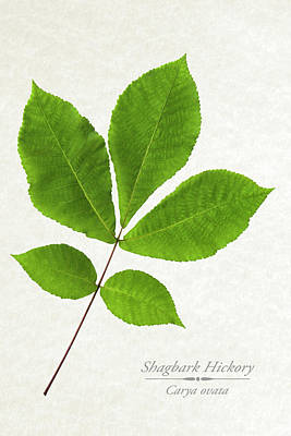 Shagbark Hickory Poster by Christina Rollo