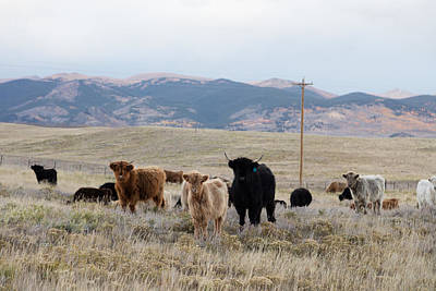 Shaggy-coated Cattle Near Jefferson Poster