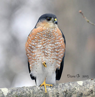 Sharp-shinned Hawk Poster by Diane Giurco