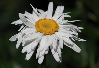 Shasta Daisy Day Poster by Suzanne Gaff