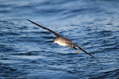 Poster featuring the photograph Shearwater by Richard Patmore