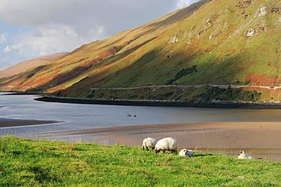 Sheep Grazing In Connemara Ireland Poster