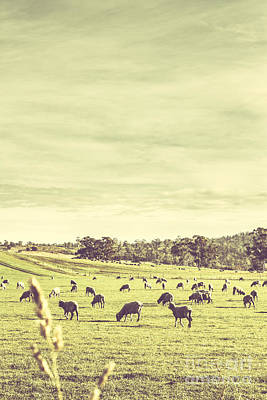 Sheep Grazing In Rustic Richmond Poster