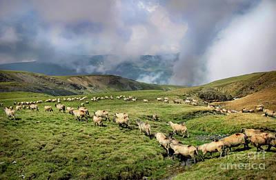 Sheep In Carphatian Mountains Poster