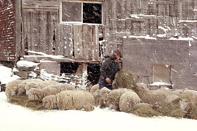 Sheep In Underhill Vermont. Poster by George Robinson