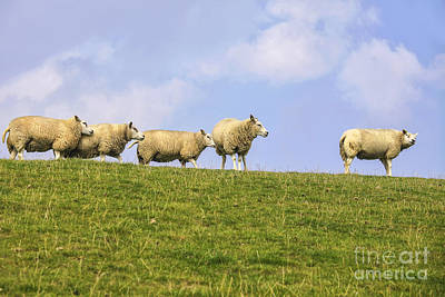 Sheep On Dyke Poster by Patricia Hofmeester