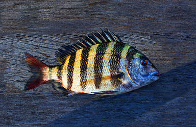 Poster featuring the photograph Sheepshead Fish by Laura Fasulo