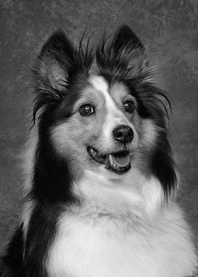 Sheltie In Black And White Poster