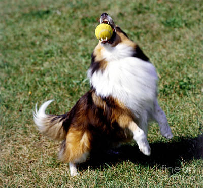 Shetland Sheepdog And Ball Poster by Jeanne White