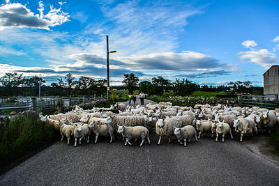 Shifting Sheep Poster by Morag Locke
