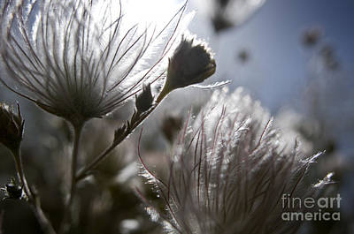 Shimmering Flower II Poster by Ray Laskowitz - Printscapes