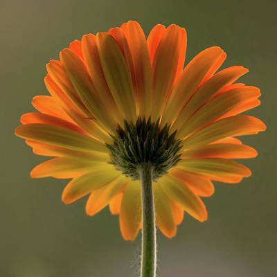 Shine Bright Gerber Daisy Square Poster by Terry DeLuco
