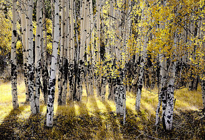 Shining Aspen Forest Poster by The Forests Edge Photography - Diane Sandoval