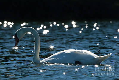Poster featuring the photograph Shining Swan by Michelle Wiarda