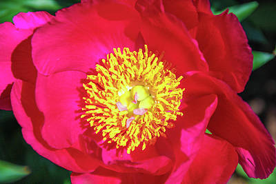 Shiny Pink Peony Poster by Margo Cat Photos