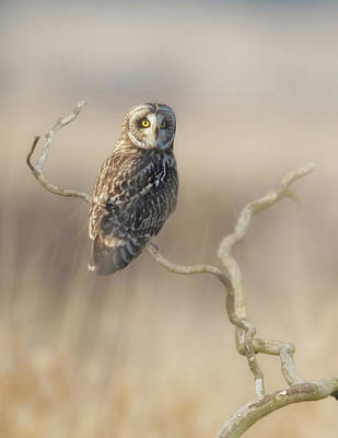 Poster featuring the photograph Short-eared Owl by Angie Vogel