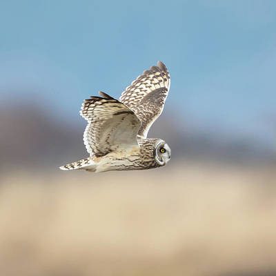 Poster featuring the photograph Short-eared Owl In Flight by Angie Vogel