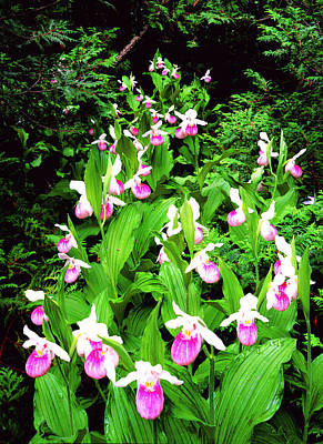 Showy Ladyslippers Poster