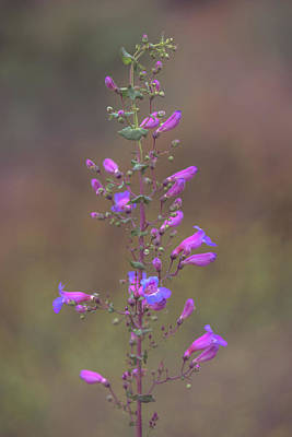 Poster featuring the photograph Showy Penstemon by Alexander Kunz