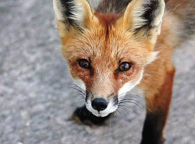 Poster featuring the photograph Shy Red Fox  by Debbie Oppermann