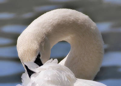 Poster featuring the photograph Shy Swan by Elaine Manley