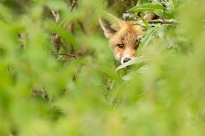 Shyfox Poster by Roeselien Raimond