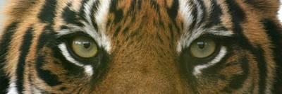 Siberian Eyes - Tiger Poster by David Dunham