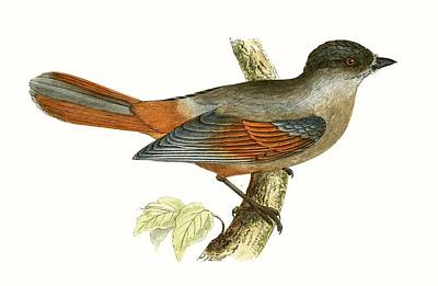 Siberian Jay Poster by English School