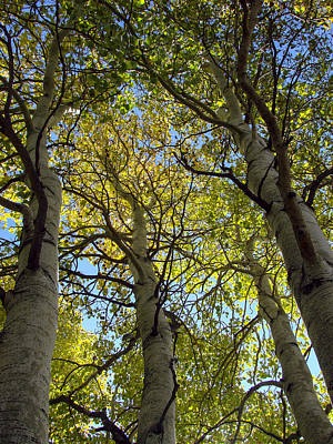 Sierra Nevada Aspen Fall Color Poster