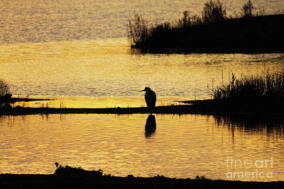 Silhouette Of A Grey Or Gray Heron - Ardea Cinerea - In Wetland We Poster