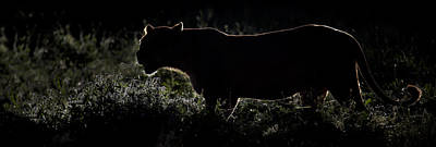 Silhouette Of African Lion Panthera Poster by Panoramic Images