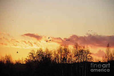 Silhouette Of Birds Wildfowl Geese Flying Off To Roost At Sunset Poster