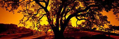 Silhouette Of Coast Live Oak Trees Poster
