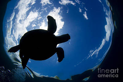 Silhouette Of Turtle Poster by Dave Fleetham - Printscapes