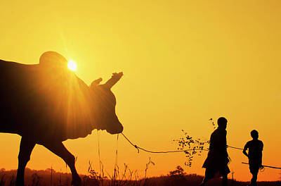Silhouette Of Two Young Boys With A Bull At Sunrise In The Countryside Of Trang, Thailand Poster