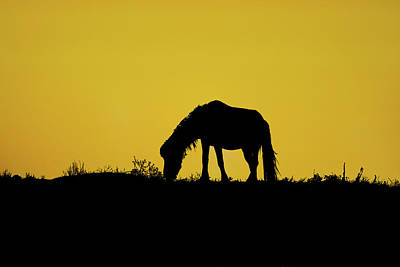 Silhouette Wild Horse Eating On Sand Dune Poster