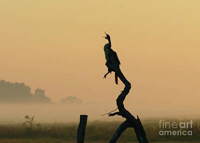 Silhouetted Darter At Dawn, Anhinga Melanogaster, Australia Poster