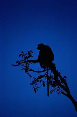 Silhouetted Proboscis Monkey Nasalis Poster by Mattias Klum